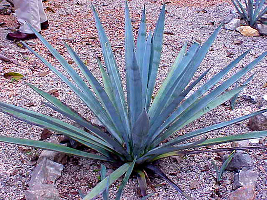 Common Blue Agave Plant - Used For Sweetening, Tequila